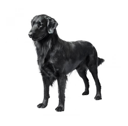 Flat - Coated Retriever
