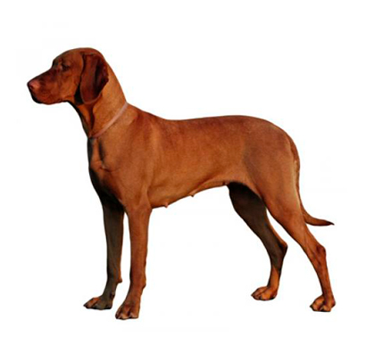 Hungarian Wire-Haired Vizsla
