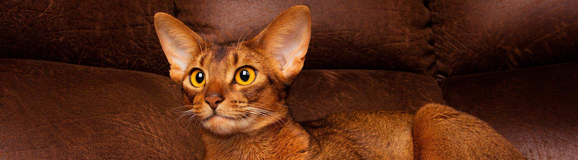Abyssinan
