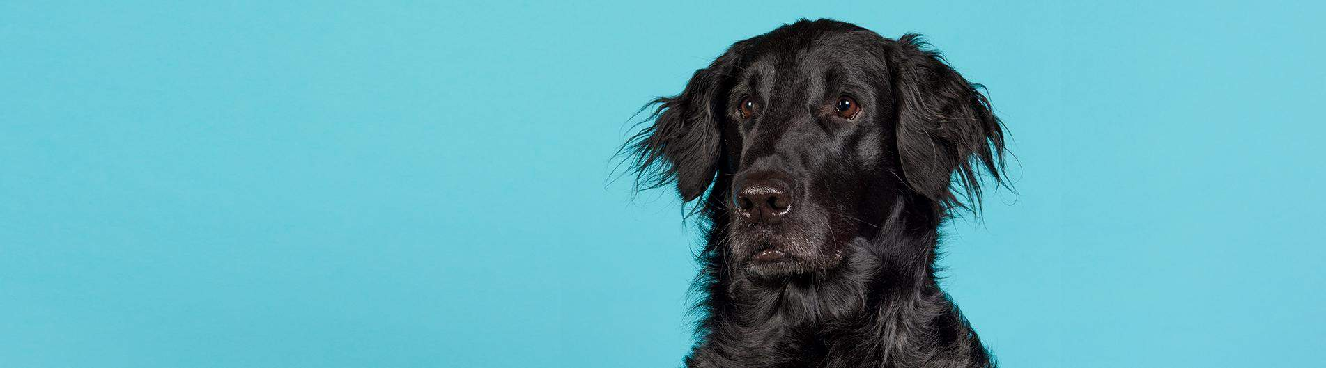 Flat - Coated Retriever -רטריבר חלק שיער